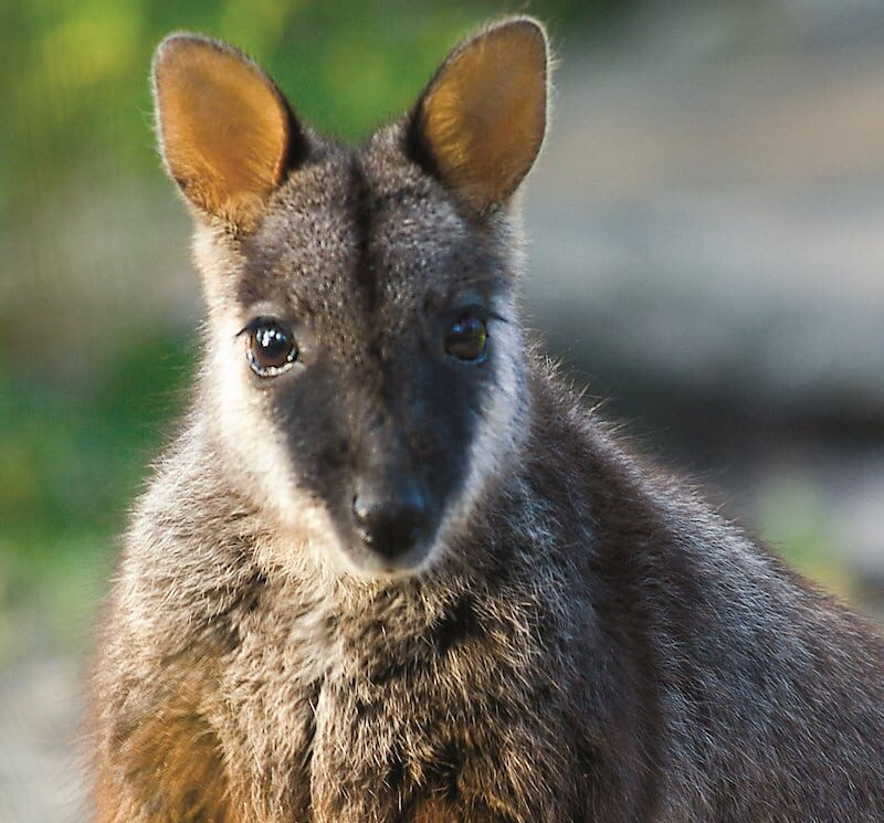 Macropodidae sp
