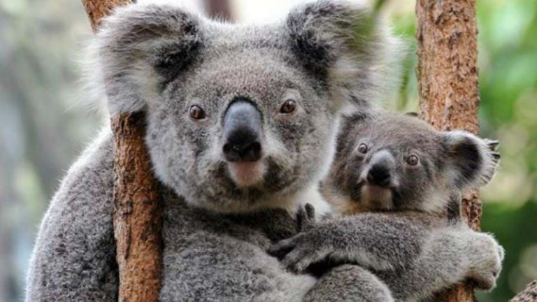 Who speaks for the koala?