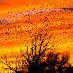 Fauna, Bird songs, Paul Kelly 3