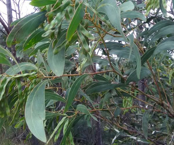 Sickle-leaved Wattle