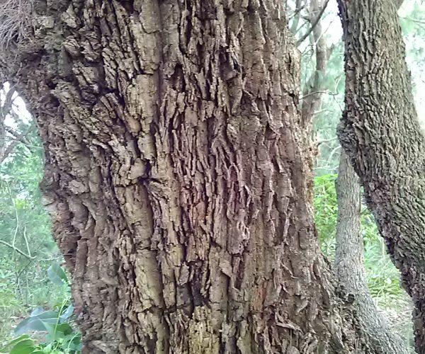 Forest She-oak