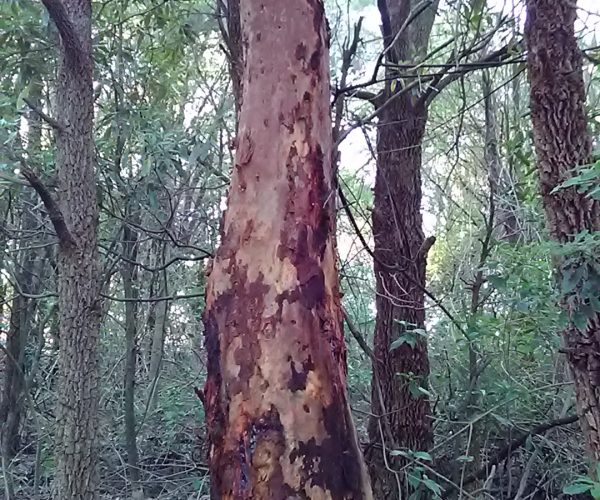 Angophora costata Smooth-barked Apple