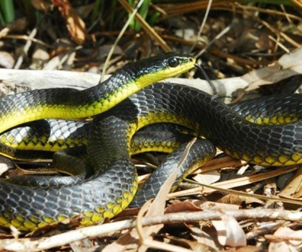 Common Green Tree Snake