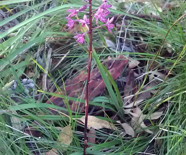 Hyacinth Orchid
