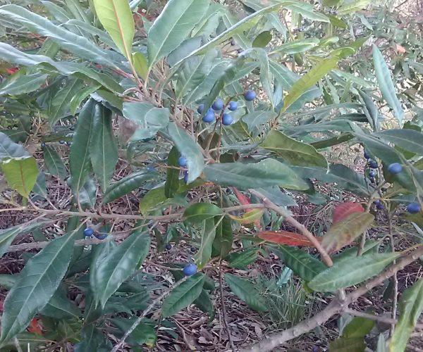 Blueberry Ash