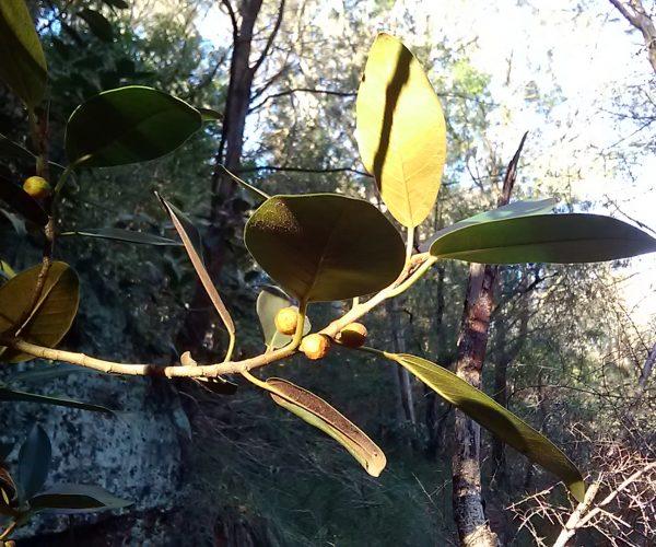 Rusty Fig