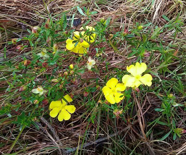 Hoary Guinea Flower