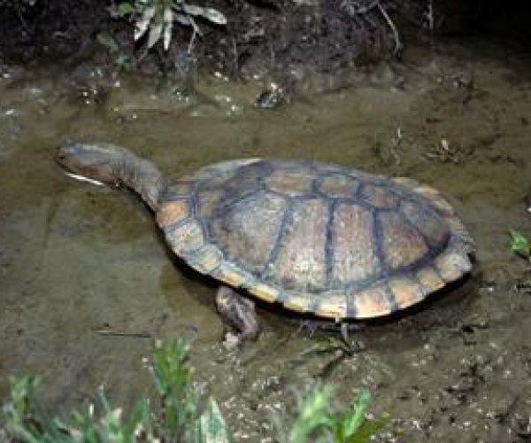 Long-necked Tortoise